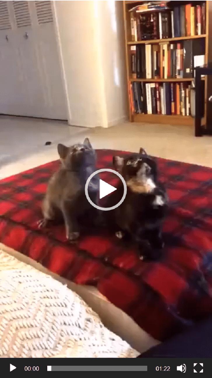 Les chats aussi aiment danser