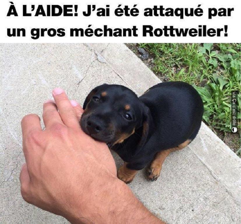A L'AIDE ! J'ai été attaqué par un gros méchant Rottweiler !