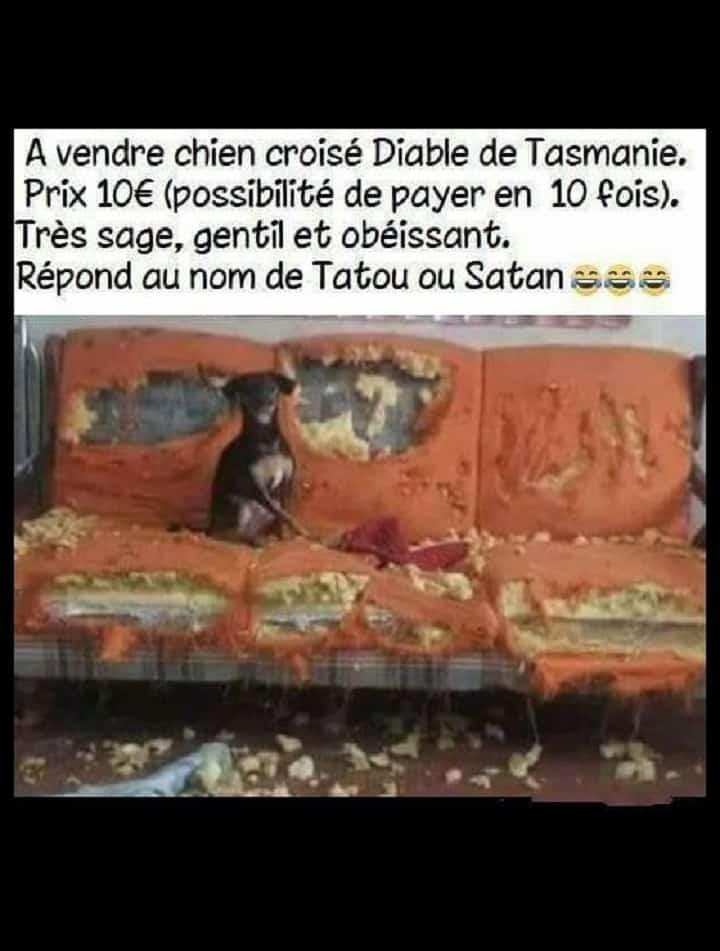 A vendre chien croisé diable de Tasmanie